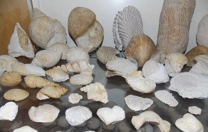 Fossiles divers du Crétacé supérieur des Charentes