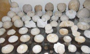 Oursins du Crétacé supérieur des Charentes